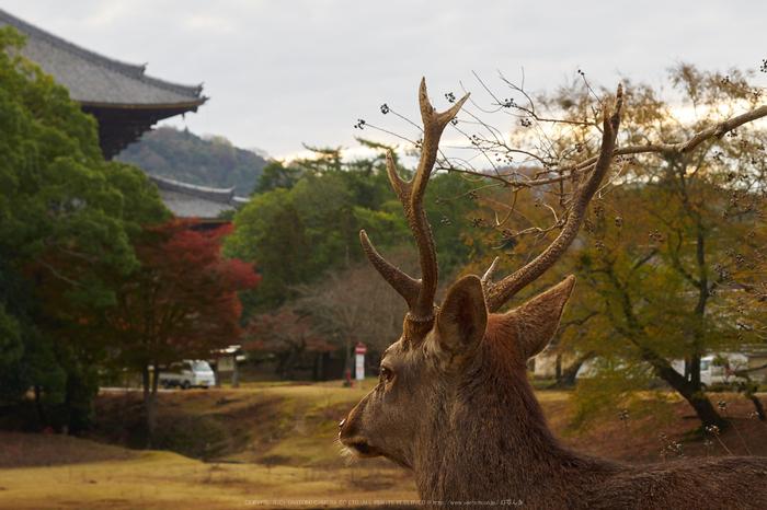 奈良公園,東大寺,紅葉(PB250115,40 mm,F6.3,iso200)2015yaotomi_.jpg
