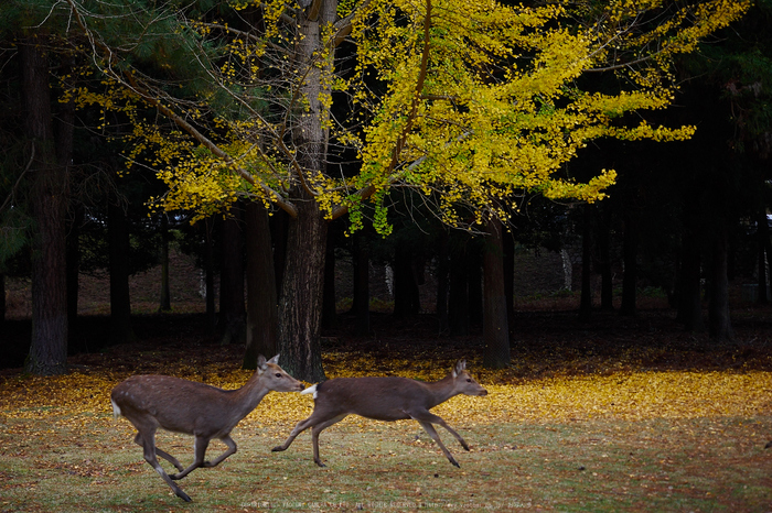 奈良公園,東大寺,紅葉(PB250190,34 mm,F2.8,iso200)2015yaotomi.jpg