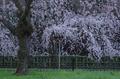 京都御苑,桜(K32_6416(DFA70_200),160 mm,F6.3,iso100)2016yaotomi 1.jpg