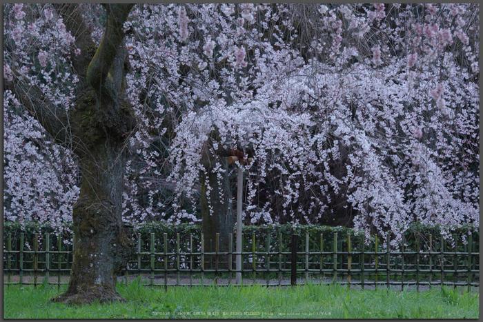 京都御苑,桜(K32_6416(DFA70_200),160-mm,F6.3,iso100)2016yaotomi_T.jpg