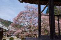 吉野本善寺,桜(K32_6726F,28 mm,F8,iso100)2016yaotomi.jpg