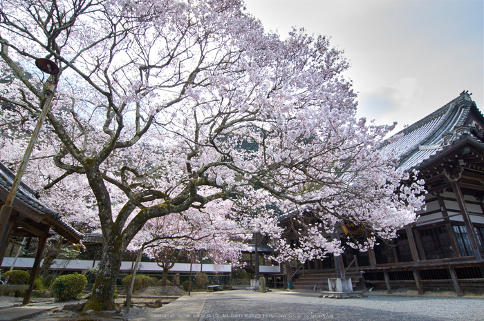 吉野本善寺,桜(K32_7168,12 mm,F10,iso100)2016yaotomi.jpg