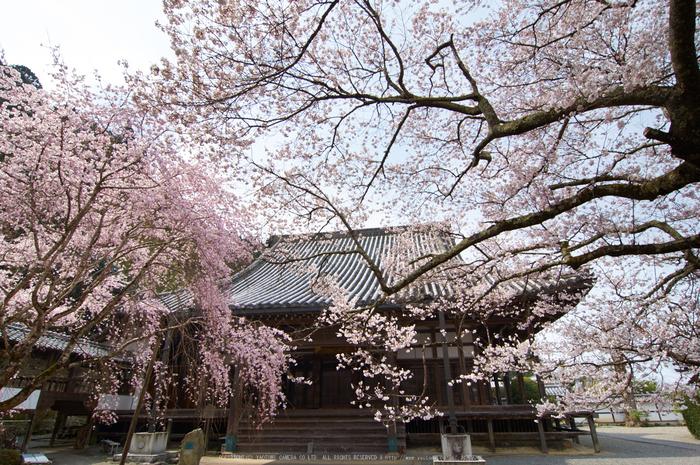 吉野本善寺,桜(K32_7174,12 mm,F10,iso100)2016yaotomi.jpg