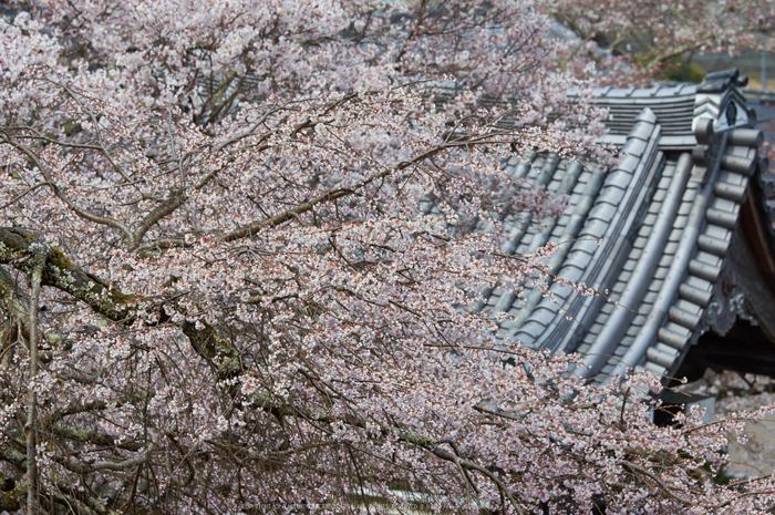 吉野本善寺,桜(K32_7208,140 mm,F7.1,iso100)2016yaotomi.jpg
