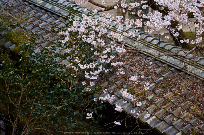 吉野本善寺,桜(K32_7209,108 mm,F3.5,iso100)2016yaotomi.jpg