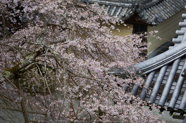 吉野本善寺,桜(K32_7215,130 mm,F5.6,iso100)2016yaotomi.jpg