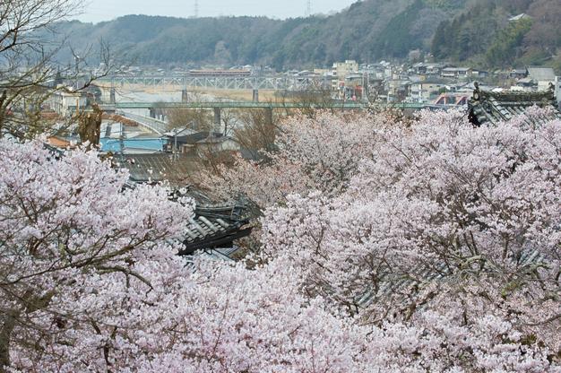 吉野本善寺,桜(K32_7239,70 mm,F9,iso100)2016yaotomi.jpg