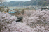 吉野本善寺,桜(K32_7239F,70 mm,F9,iso100)2016yaotomi.jpg