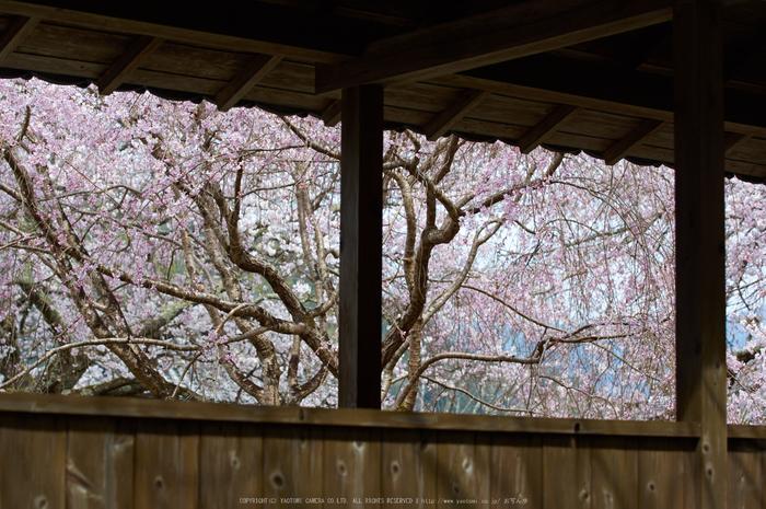 吉野本善寺,桜(K32_7247,70 mm,F4.5,iso100)2016yaotomi.jpg