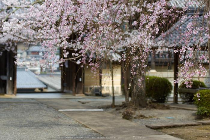 吉野本善寺,桜(K32_7252,70 mm,F3.2,iso100)2016yaotomi.jpg