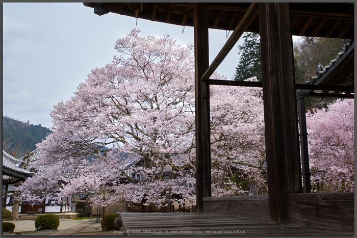 吉野本善寺,桜(K32_7265,26-mm,F8,iso100)2016yaotomi_T.jpg
