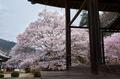 吉野本善寺,桜(K32_7265F,26 mm,F8,iso100)2016yaotomi.jpg