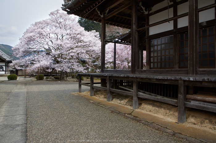 吉野本善寺,桜(K32_7268,16 mm,F8,iso100)2016yaotomi 1.jpg