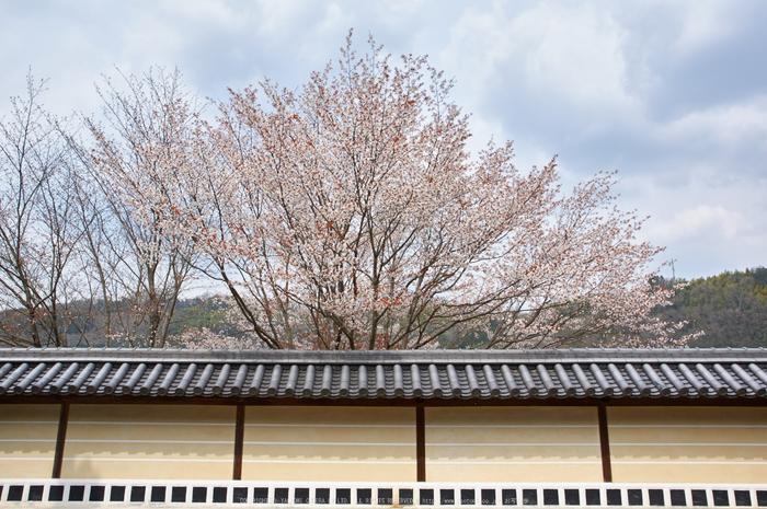 吉野本善寺,桜(K32_7276,21 mm,F8,iso100)2016yaotomi.jpg
