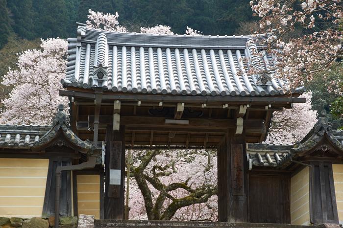 吉野本善寺,桜(K32_7311,60 mm,F9,iso100)2016yaotomi.jpg