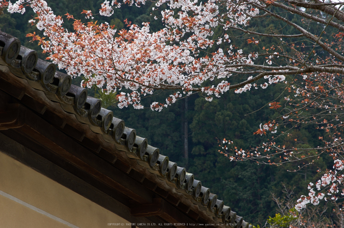 吉野本善寺,桜(K32_7315,85 mm,F9,iso100)2016yaotomi.jpg