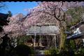 奈良,専称寺,桜_EM160127F_2016yaotomi.jpg