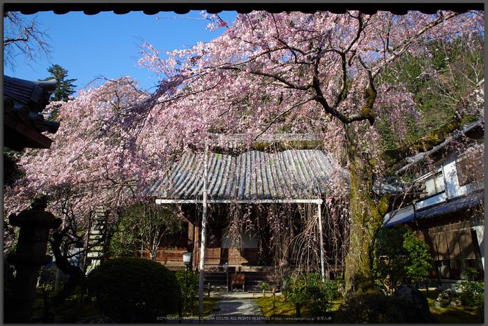 奈良,専称寺,桜_EM160127_2016yaotomi_T.jpg