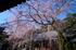 奈良,専称寺,桜_EM160140F_2016yaotomi.jpg