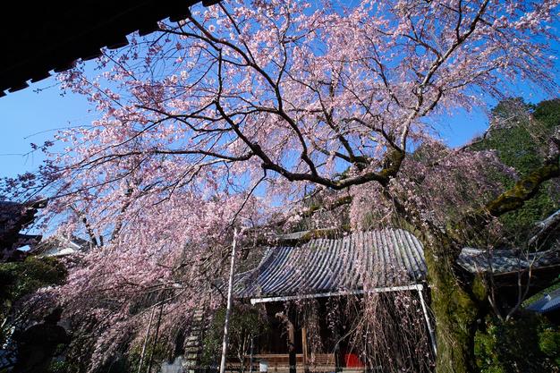 奈良,専称寺,桜_EM160140_2016yaotomi.jpg