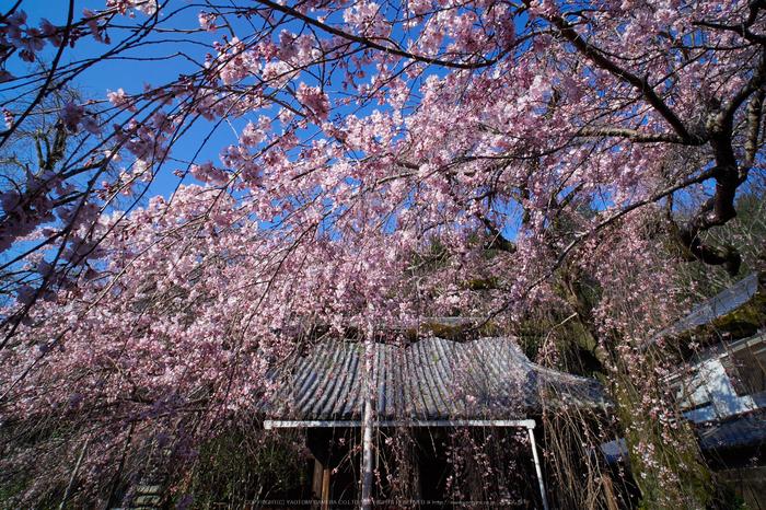 奈良,専称寺,桜_EM160146_2016yaotomi.jpg