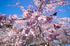 奈良,専称寺,桜_EM160162F_2016yaotomi.jpg