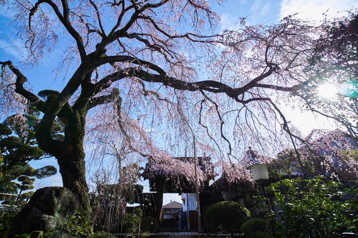 奈良,専称寺,桜_EM160170_2016yaotomi.jpg