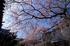奈良,専称寺,桜_EM160187F_2016yaotomi.jpg
