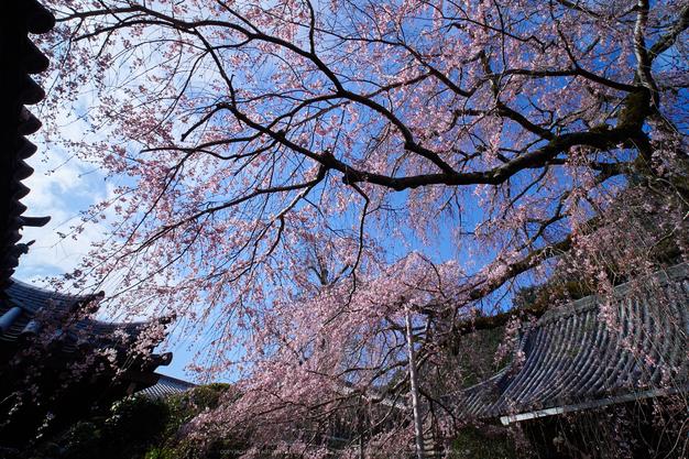 奈良,専称寺,桜_EM160187_2016yaotomi.jpg