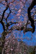 奈良,専称寺,桜_EM160197F_2016yaotomi.jpg