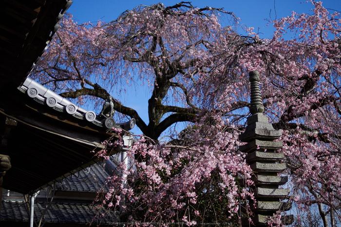奈良,専称寺,桜_EM160211_2016yaotomi.jpg