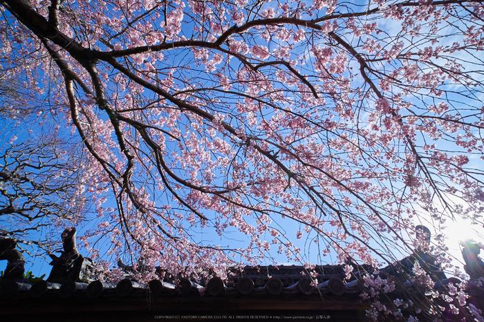 奈良,専称寺,桜_EM160234_2016yaotomi.jpg
