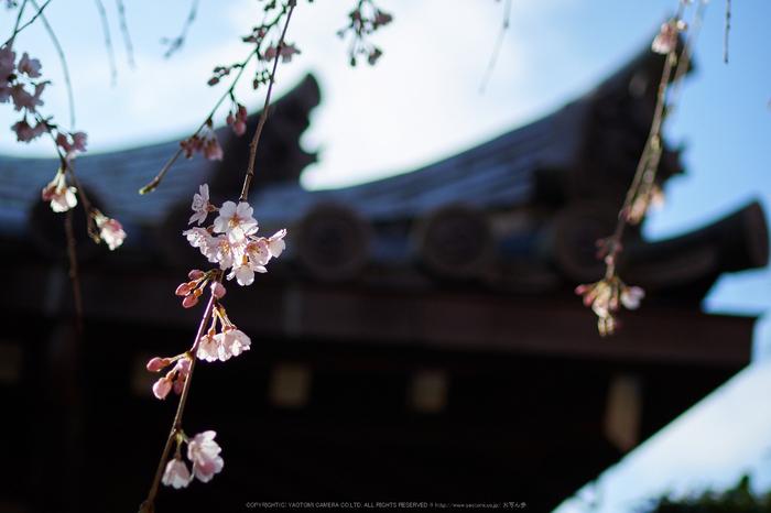 奈良,専称寺,桜_EM160237_2016yaotomi.jpg