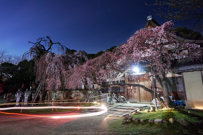 氷室神社,桜(EM130006)12 mm,F8,2 分 1 秒,iso200_2016yaotomi.jpg
