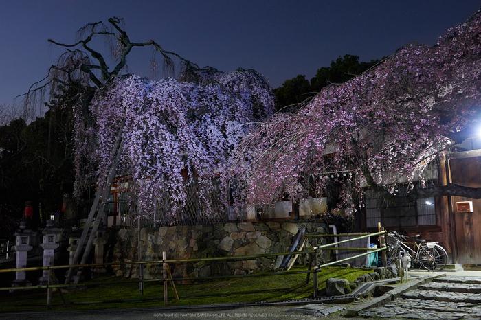 氷室神社,桜(EM130007)19 mm,F8,1 分 21 秒,iso200_2016yaotomi.jpg