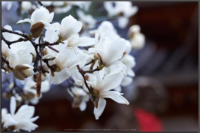 氷室神社,桜(K32_6377)115-mm,F3.5,1-125-秒,iso100_2016yaotomi_T.jpg