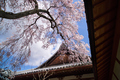 當麻寺護念院,桜(EM160377F)2016yaotomi.jpg