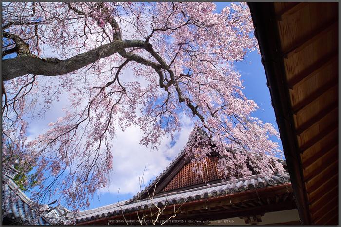 當麻寺護念院,桜(EM160378)2016yaotomi_T.jpg