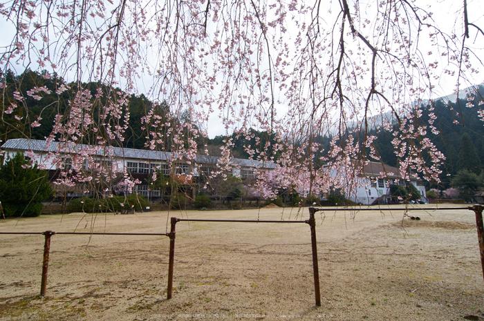 丹生小学校,桜(K32_7664,12 mm,F10)2016yaotomi.jpg