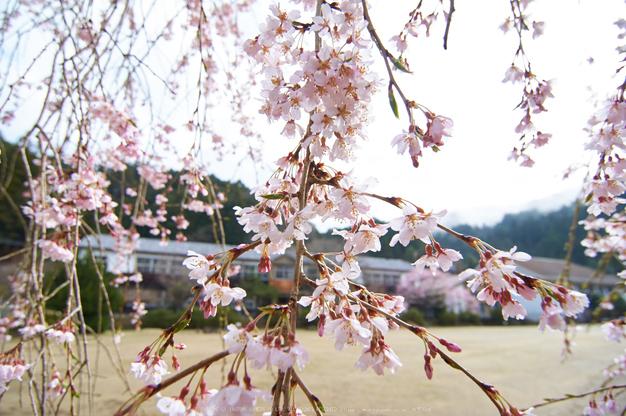 丹生小学校,桜(K32_7668,12 mm,F5.6)2016yaotomi.jpg