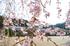 丹生小学校,桜(K32_7668f,12 mm,F5.6)2016yaotomi.jpg
