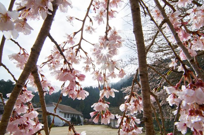 丹生小学校,桜(K32_7670,12 mm,F16)2016yaotomi.jpg