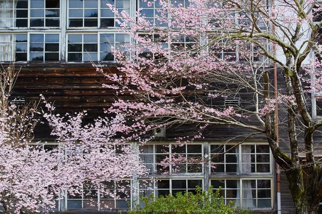 丹生小学校,桜(K32_7689,70 mm,F6.3)2016yaotomi.jpg