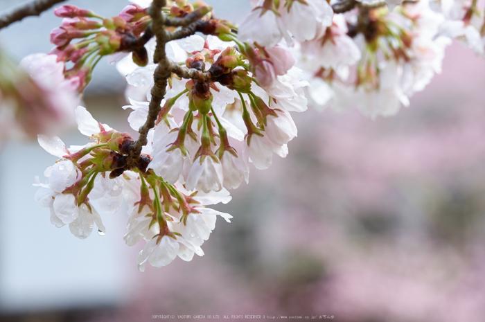 丹生小学校,桜(K32_7705,200 mm,F10)2016yaotomi.jpg