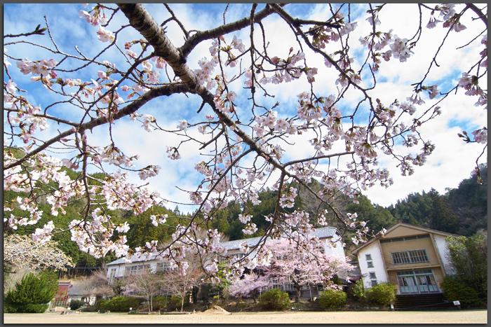 丹生小学校,桜(K32_7720,12-mm,F9)2016yaotomi_T.jpg
