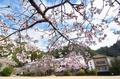 丹生小学校,桜(K32_7720f,12 mm,F9)2016yaotomi.jpg