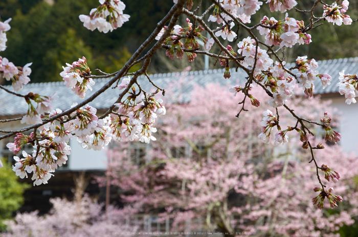 丹生小学校,桜(K32_7722,68 mm,F9)2016yaotomi.jpg
