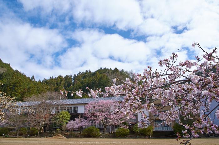 丹生小学校,桜(K32_7723,16 mm,F9)2016yaotomi.jpg