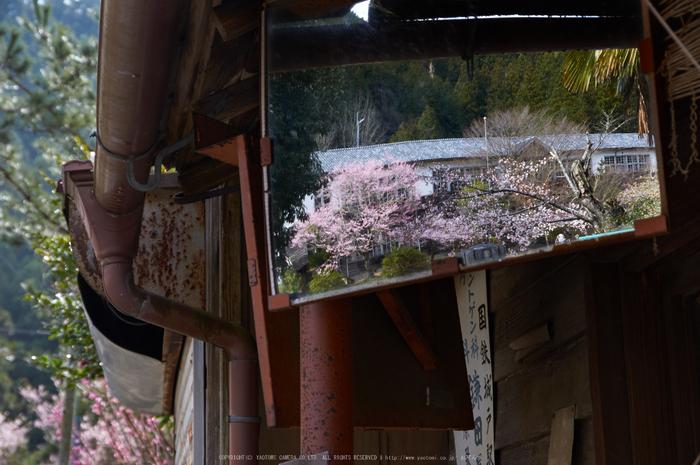 丹生小学校,桜(K32_7732,53 mm,F7.1)2016yaotomi.jpg