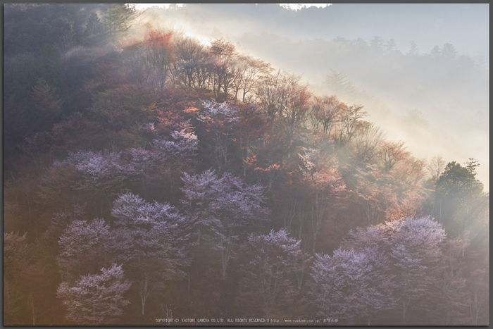 吉野山,桜,K32_8141,95-mm,F7.1_2016yaotomi_T.jpg